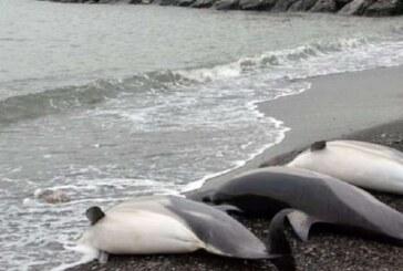 ABD'de 261 yunus kıyıya vurdu