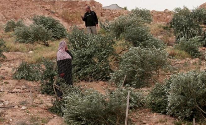 İsrail işgal altındaki Filistin topraklarında 2,5 milyon ağaç söktü