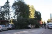 Lefkoşa'da ağaç, aracın üstüne düştü