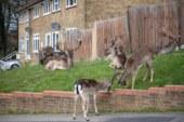 Boş kalan Londra sokaklarını bu kez geyikler bastı