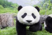 Bilim insanlarına göre pandaların korunması diğer türlere zarar veriyor