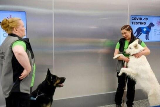 Koronavirüsü tespit eden köpekler göreve başladı