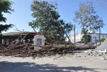 Tarihi kavak ağaçlarından biri aşırı rüzgarın etkisiyle devrildi