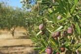 Başkasının arazisinden zeytin toplayan şahıs tutuklandı
