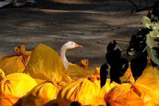 Fransa'da 'kuş gribi' alarmı: 2 milyon ördek itlaf edildi