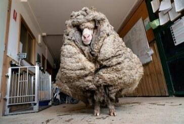 Avustralya'da 5 yıldır doğada yaşayan koyundan 35 kilo yün kırkıldı