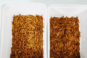 Avrupa mutfağı 'kurtlanıyor': AB, un kurdunu insanlar için tüketimi güvenli yenilikçi gıda olarak servis edecek
