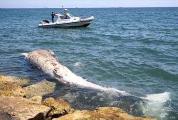 Türkiye'nin Mersin sahiline, telef olmuş yaklaşık 8 metrelik oluklu balina vurdu